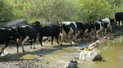 The shepherd drives the herd to the watering hole Stock Footage