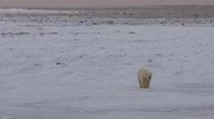 Polar bear on frozen tidal flat walks towards camera in pink dawn Stock Footage