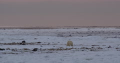 Wide polar bear on arctic tidal flats walks slowly in pink light Stock Footage