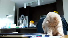 Funny way of persian cat cleaning her body on table with 4k resolution. Stock Footage