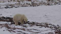 Medium polar bear and raven feed from snowy kelp bed on shore Stock Footage