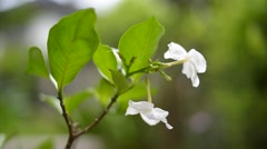 Jasmine flower in  nature  ,thailand Stock Footage
