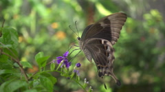 Slow motion  shot of butterfly on flower Stock Footage