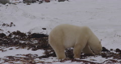 Two ravens flap away from polar bear searching snowy bed of kelp Stock Footage