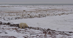 Wide polar bear on coast digging through kelp with ravens in snow Stock Footage