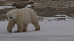 Close on mother polar bear and two cubs walking on snow Stock Footage