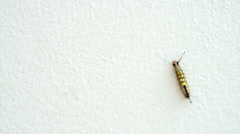 Beautiful yellow and black hairy caterpillar on white isolated wall background Stock Footage