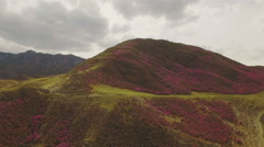 Mountain covered with pink flowers of rhododendron, aerial Stock Footage
