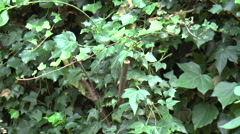 Ivy Plant Stock Footage