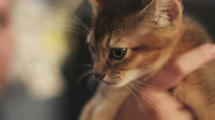 Abyssinian kitten sitting on hands Stock Footage