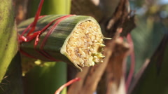 Coconut sugar liquid drops from cut fresh palm leaves in South East Asia Stock Footage
