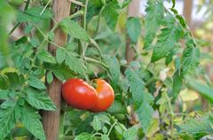 Red tomato plants Stock Photos