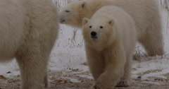 Adorable polar bear cubs walking behind their mother on gravel Stock Footage