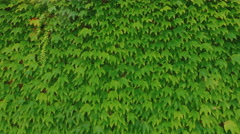 Video background with ivy leaves Stock Footage