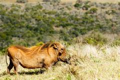 Digging in the grass - The common warthog - Phacochoerus africanus Stock Photos