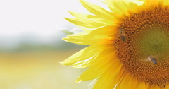 Bee working on Sunflower in slow motion Stock Footage