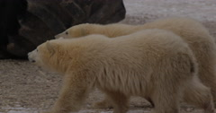 Twin polar bear cubs walk near massive tundra buggies on gravel and snow Stock Footage