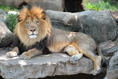 Adult Male Lion Stock Photos