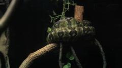Green Python On Tree Limb Stock Footage