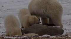 Mother polar bear and cute cubs dig for kelp near boulders Stock Footage