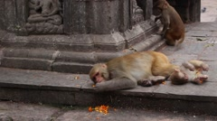 A mother and baby monkey hang out at Monkey Temple in Kathmandu Stock Footage