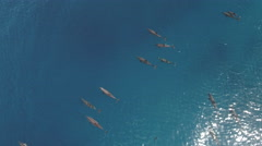 Aerial view of school of dolphins in open sea Stock Footage