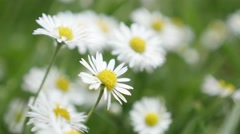 Field of common daisies in the grass spring background 4K Stock Footage
