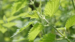 Green common nettle plant leaves in the wild natural background slow tilt 4K Stock Footage