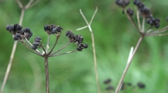 Blackberrys blowing in the wind nature creepy cut away Stock Footage