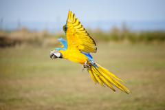 Landing blue-and-yellow macaw. Tropical parrot flying close to the ground Stock Photos