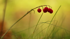 Fruits of lily of the valley on the stem Stock Footage