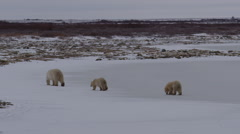 Mother polar bear leads twin cubs off frozen pond to snowy willows Stock Footage