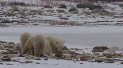 Mother polar bear rests on snowy rocks as cubs explore and then lie down Stock Footage