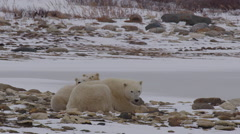 Cute cubs rest chins on mindful polar bear mother on snowy rocks Stock Footage