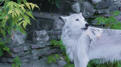 White north wolf howling near human house Stock Footage