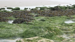 Green Algae on the beach  water tide consequence  slow tilt 4K 2160p 30fps Ul Stock Footage