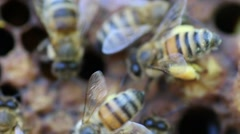 Honey bee footage for honey production and bee research Stock Footage