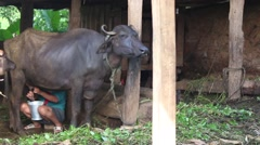 A poor farmer milks a water buffalo in Southern Asia Stock Footage