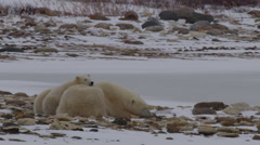 Polar bear cub rests chin on sleeping mother who wakes up Stock Footage
