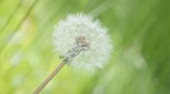 In the field Taraxacum flower green natural background 4K 3840X2160 UHD foota Stock Footage