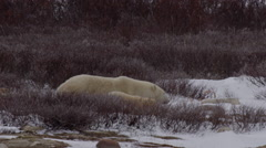 Nervous mother polar bear leads her cubs briskly through snowy willows Stock Footage