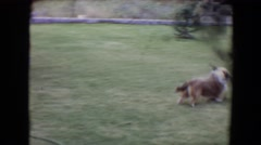 1961: smart dog shows off his skills as he has learned a spiffy new trick. Stock Footage