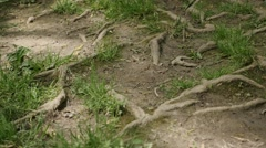 Tree roots above the soil complex vascular plants 4K Stock Footage