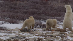 Slow motion - Polar bear mother stands tall to see threat then leads cubs away Stock Footage