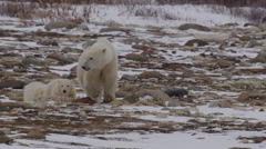 Slow motion - mother polar bear leads cubs wearily away from threat Stock Footage