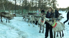 Lovozero, Russia. The Sami village. A group of people hand-feed deer. Stock Footage