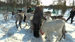 Lovozero, Russia. Sami village. People pat and photograph deer. Stock Footage