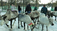 Lovozero, Russia. The Sami village. A few people take pictures with the deer. Stock Footage