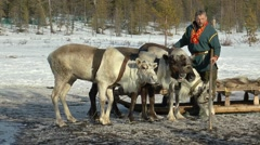 Lovozero, Russia. Sami village. The deer breathe heavily after the race. Stock Footage