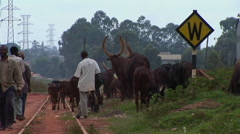 Medium shot of men herding cattle along a railroad track on the outskirts of Stock Footage
